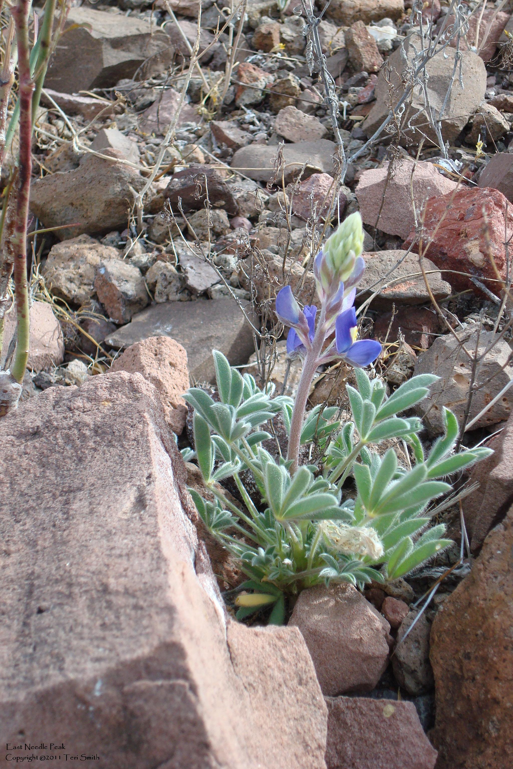 Big Bend Bluebonnet - East Needle Peak 2