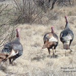 Wild Turkeys - Ritchie Ranch